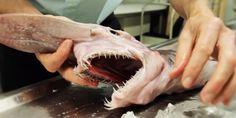 Una terribile specie di squalo, predatore dei mari già dall'epoca preistorica, è stata catturata da un pescatore lo scorso gennaio al largo della località di Eden e ora consegnato all'Australian Museum di Sydney. Si tratta dello squalo Goblin, soprannominato «l&rsquo