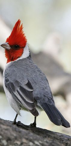 The red-crested cardinal (Paroaria coronata) is a songbird with a prominent red head and crest. This species belongs in the family of the tanagers (Thraupidae). Notwithstanding its similar name, this bird is not closely related to the true cardinal family (Cardinalidae).It is found in northern Argentina, Bolivia, southern Brazil, Paraguay and Uruguay. Its natural habitats are subtropical or tropical dry shrubland and heavily degraded former forest.