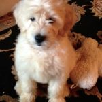 Goldendoodle puppies for sale! Home-raised doodles: Mini, Toy, and Standard. Our top quality pets are a perfect family addition. Goldendoodles For Sale, Goldendoodle Puppy For Sale, Miniature Goldendoodle, Standard Goldendoodle, Mini Golden Doodle, Golden Doodles, Puppies For Sale, Fur Babies
