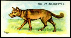"""Cigarette Card - Dingo  Adkin's Cigarettes """"Wild Animals of the World"""" (series of 50 issued in 1923)  Dingo"""