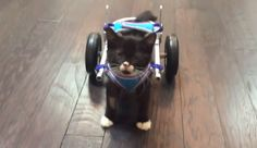Last week Cassidy took his first walk by himself — and it was triumphant! | A Kitten Used His Tiny Wheelchair For The First Time And It Was Beautiful