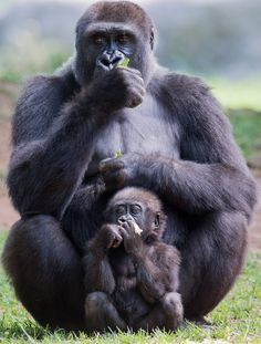 Can the strongest known human fight a gorilla and win? Can the strongest known human fight a gorilla and win? Zoo Animals, Animals And Pets, Funny Animals, Cute Animals, Gorilla Gorilla, Primates, Mammals, Beautiful Creatures, Animals Beautiful