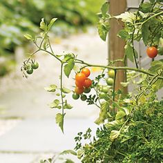 Tomatoes on a small scale: The key to a good harvest is selecting tomato cultivars that flourish in the confined space of a container. Naturally compact types such as 'Patio,' 'Tiny Tim,' and 'Yellow Canary' perform especially well in these conditions