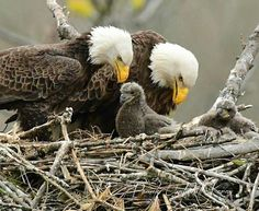 Bald Eagles in nest. God always by His sovereign power sets his weak and lowly in mind children's in high places far above the reach of the enemy (Matt Job Ps Pretty Birds, Beautiful Birds, Animals Beautiful, Beautiful Family, Animals And Pets, Baby Animals, Cute Animals, Bird Pictures, Animal Pictures