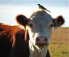 .Vaca y pajarito #postalesdelcampo www.tierrafertil.com.mx
