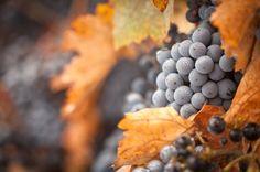 Originária da Borgonha, a pinot noir é sensível, sedutora, aromática e…