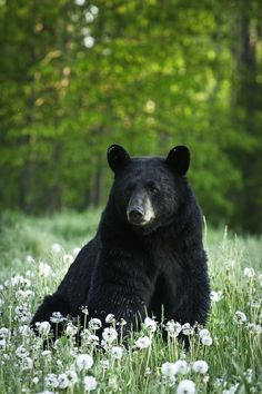 Black bear Chimera that helps defend the Cold Mountain Freehold
