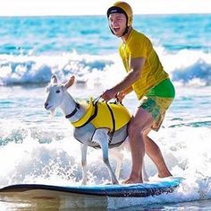Surfing Goat | Why Goats Are The Best Animal To Have On Your Farm | Self Sufficiency and Homesteading Ideas by Pioneer Settler at http://pioneersettler.com/goats-best-farm-animal/