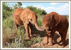 Tundani greets Ajabu #elephants #davidsheldrickwildlifetrust