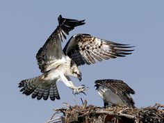 of osprey nests in Wisconsin are located on man-made structures, most commonly on powerline poles. Amazing Animal Pictures, Cute Pictures, Beautiful Birds, Animals Beautiful, Eagles, Osprey Nest, Animal Action, Bird Poster, Vertebrates
