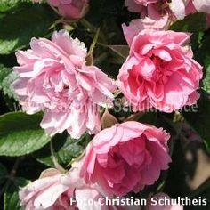 Pink Grootendorst öfterblühend 1,5m - Suche - Rosen von Schultheis