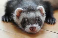 ferrets are such great pets....look how cute!!