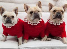 French Bulldogs modeling Red hand knit Sweaters with Pom-Poms, from HSN.