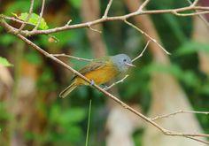 Foto abre-asa-de-cabeça-cinza (Mionectes rufiventris) por Paulo Casemiro | Wiki Aves - A Enciclopédia das Aves do Brasil