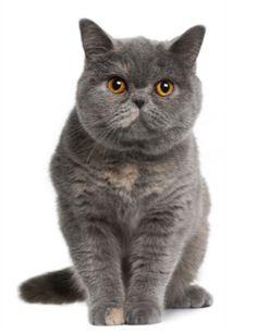 british short hair smoke colored caats | british shorthair the national cat of the british isles the british ...