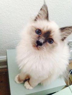 Blue eyes, hellig birma, my Beauty cat Luna, kitty