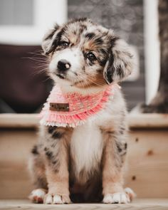 Have you guys met Bliss yet? The newest member of the Wixom's Whimsies brand rep team and she is absolutely adorable! Aussie Puppies, Cute Dogs And Puppies, Doggies, Cute Baby Animals, Animals And Pets, Funny Animals, Beautiful Dogs, Animals Beautiful, Puppy Bandana