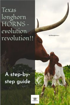 Texas longhorn horns - a step by step guide #gvrlonghorns #Texaslonghornforsale #Texaslonghorncattle Longhorn Cow, Longhorn Cattle, Cattle Farming, Livestock, Cattle For Sale, Green Valley Ranch, Raising Cattle, F Pictures, Texas Ranch