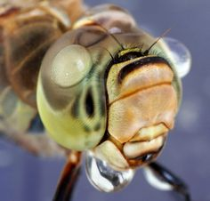 Amazing Macro Shots Of Insects With Droplets Of Water On Their Heads - DesignTAXI.com