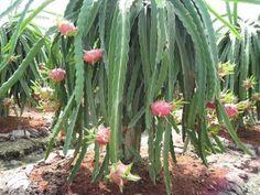 Dragon Fruit Tree Plant Cacti Succulent Epiphyllum Orchid Cactus Pitaya