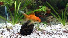 Nemo mi goldfish, tiene casi un año.