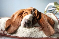 now these are some long ears! Basset Puppies, Bloodhound Dogs, Basset Hound Dog, Beagle Puppy, Dogs And Puppies, Silly Dogs, Cute Dogs, Bassett Hound, Cute Creatures