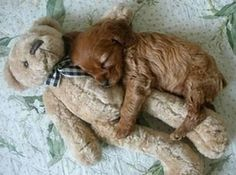 tiny puppy and his teddy bear