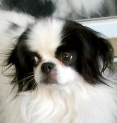 Meet STAR   (MN), a Petfinder adoptable Japanese Chin Dog | Redwood Falls, MN | Name:  STARDOB:  8/16/06Weight:  approximately 13 poundsAdoption Donation:  $150Foster Location: ...