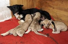 Dog nursing Lion Cubs . . .