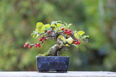 盆栽の大きさの画像 | 超ミニ盆栽のブログ