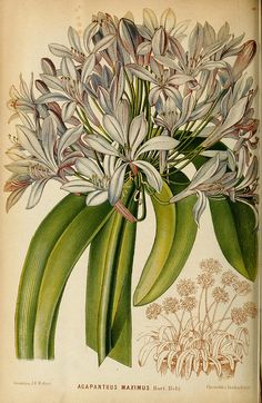All species of Agapanthus are indigenous to South Africa (Pic: Biodiversity Heritage Library) Botany Illustration, Illustration Botanique, Floral Illustrations, Vintage Botanical Prints, Botanical Drawings, Botanical Flowers, Botanical Art, Poster Art, Arte Floral