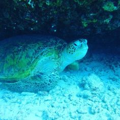 #diving #turtle #honolulu http://ift.tt/1MPvLEI @hawaiiscubadiving