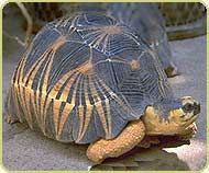 Fact: The favorite food of a wild radiated tortoise is an prickly pear cactus.