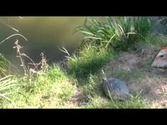 New Animal Funny Videos 2014 : Epic Turtle Jump Funny Videos - http://dailyfunnypets.com/videos/cats/new-animal-funny-videos-2014-epic-turtle-jump-funny-videos/ - Tags : Vine Video Hakan Hepcan Vine Komik Vine 7 Saniyelik V?deo Vine Komik Komik Vine Video K?sa Komik Video Vine Nedir Vine Videolar? Video Vine Kay?t V?ne... - (animal), (fictional, (film), animals, best, cat, cats, character), clips, crossing, dog, dogs, friend, funny, moments, pet, pets, r