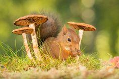 gentle fall - Pinned by Mak Khalaf red squirrel standing between mushrooms Animals mushroomanimalautumnbrightclose upcutefallfunnygeertgroundhappylightmammalmossnatureperennialplantredrodentspringsquirrelweggen by geertweggen