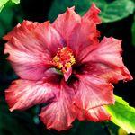 Exotic Hibiscus 'Presidential Affair'