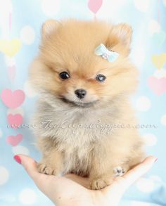 Pomeranian Puppy Love <3 <3 <3