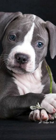 This pitbull puppy will make you happy. Dogs are incredible companions. Cute Puppies, Cute Dogs, Dogs And Puppies, Doggies, Baby Puppies, Animals And Pets, Baby Animals, Cute Animals, Beautiful Dogs