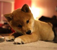 pinterest @jaenaxca ♡ Super Cute Animals, Cute Funny Animals, Cute Puppies, Dogs And Puppies, Pet Dogs, Dog Cat, Japanese Dogs, Cutest Dog Ever, Best Dog Breeds