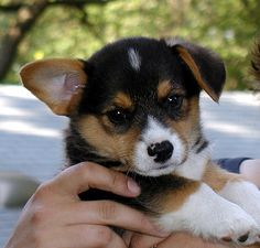 Sweetie Pie | Pembroke Welsh Corgi puppy via Flickr - Photo Sharing! by Amy (stramy)