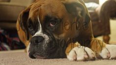 Tired Boxer