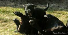 #labradorinnoutaja #koiranpentu ja painikisa