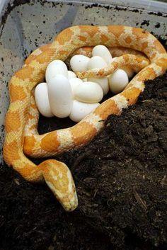 Creamsicle Corn snake and her eggs #motherhood #snakes #eggs