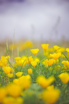 Easter Poppies, El Paso poppies the day before Easter 2015 by Melissa Hall on 500px