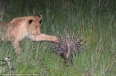 Spike: This lion cub inquisitively puts his paw on a spike of the porcupine during his investigation