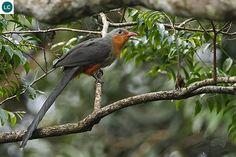 https://www.facebook.com/WonderBirds-171150349611448/timeline/?ref=hl Phướn Malkoha mỏ đỏ; Họ Cu cu-Cuculidae; Brunei, Indonesia, Malaysia, Myanmar và Thailand | Red-billed malkoha (Phaenicophaeus javanicus) IUCN Red List of Threatened Species 3.1 : Least Concern (LC)(Loài ít quan tâm)