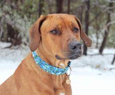 Blue watercolor dog collar