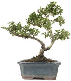 Bonsai Jap. Stechpalme, ca. 6 J. (25 cm)