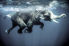 Swimming elephants (by oblaise)