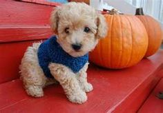 The 30 Super Cute Poodle Puppies - The Wondrous Pets For Sale, Kitten For Sale, Teacup Puppies, Kittens And Puppies, Red Poodles, Poodle Mix, Puppies Puppies, Tea Cup Poodle, Puppies